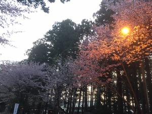 201804北海道神宮桜.jpg